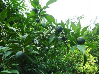 香り高き柚子(ゆず) 令和元年の青柚子は9月中旬より出荷予定!今のうち青唐辛子を購入しておいて下さい_a0254656_15282899.jpg