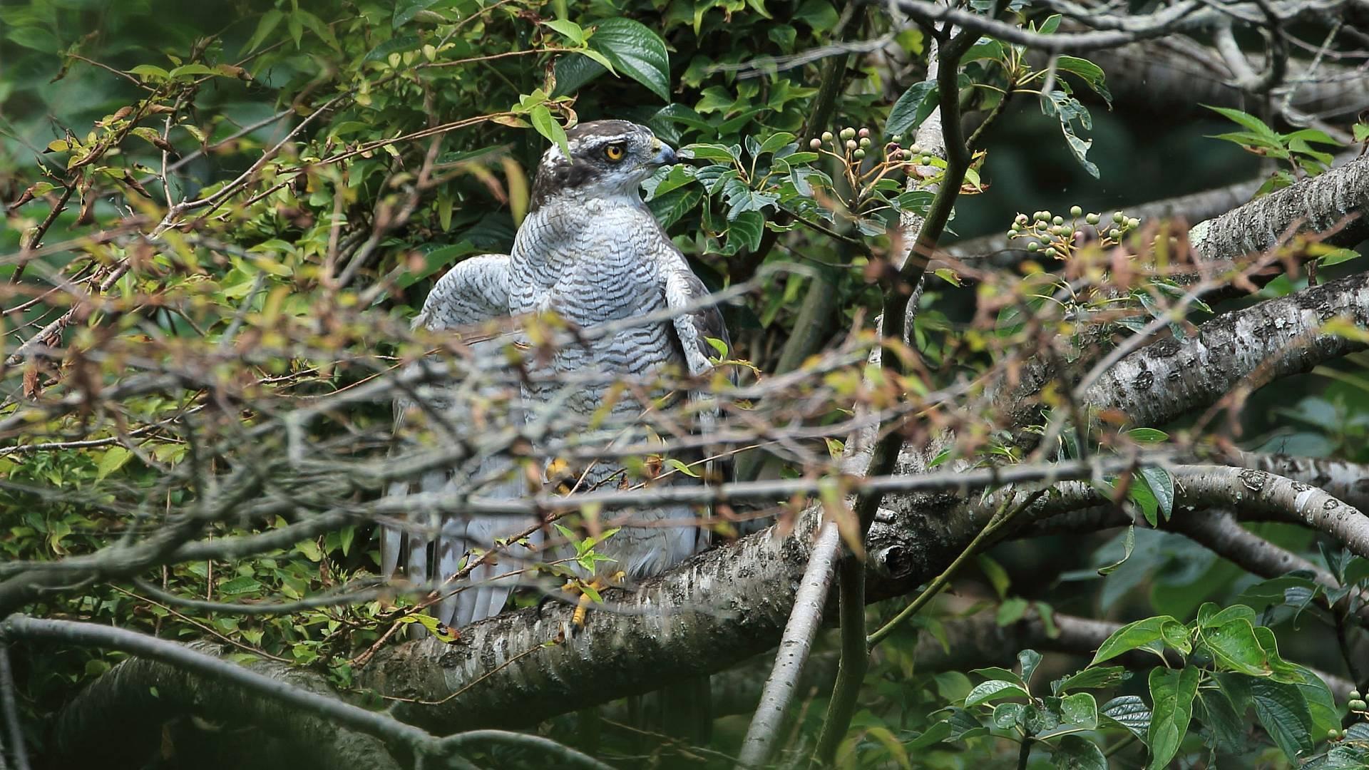 水浴びの後、ゆっくり羽を乾かすオオタカお母さん_f0105570_21434976.jpg