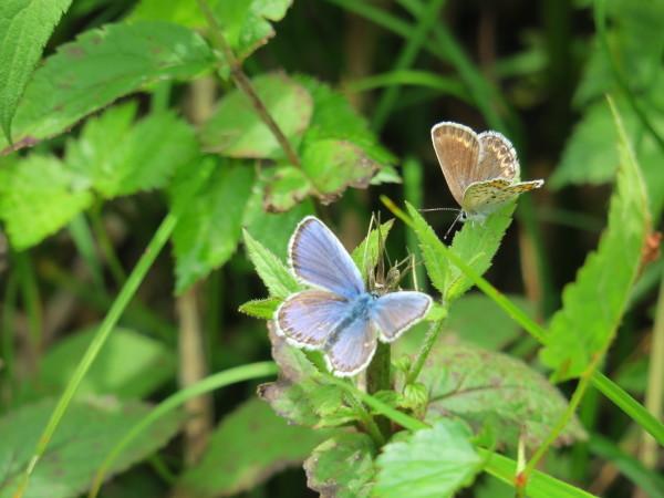 上高地の蝶々 シジミチョウ_e0271890_23235305.jpg