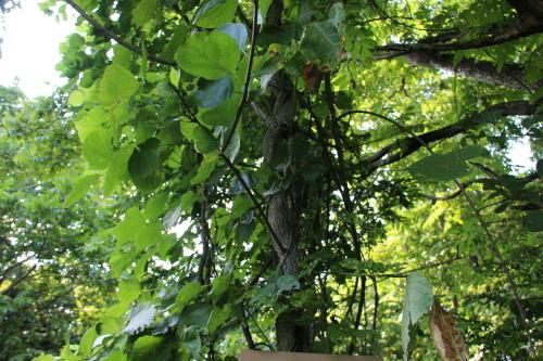 黒田充紀・三佳ご夫妻オーナーのDARAKE農園に隣接する『秘密の森』を散策する_c0075701_21385214.jpg