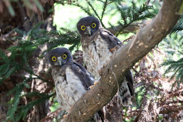 アオバズク幼鳥2羽と親1羽_f0239515_16535187.jpg
