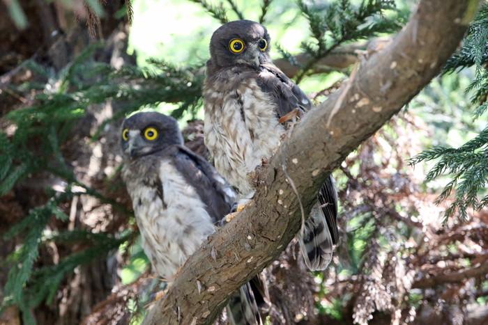 アオバズク幼鳥2羽と親1羽_f0239515_16542073.jpg