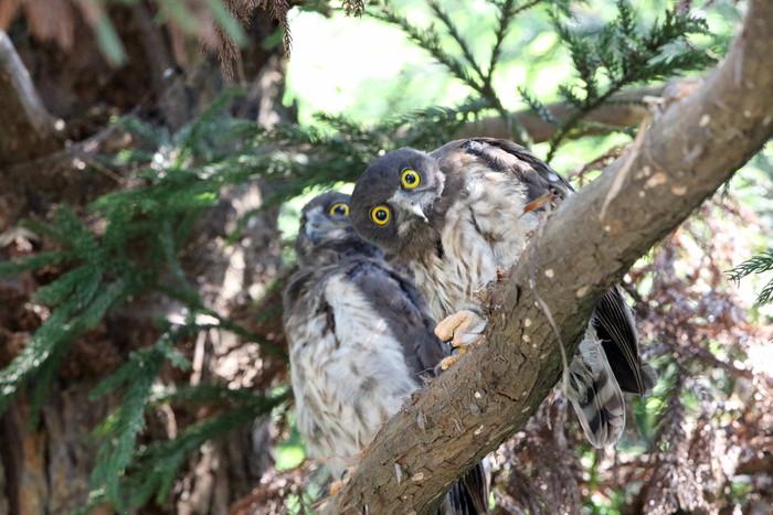 アオバズク幼鳥2羽と親1羽_f0239515_16545588.jpg