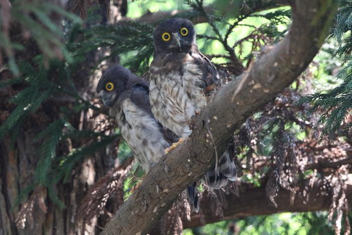 アオバズク幼鳥2羽と親1羽_f0239515_1656494.jpg