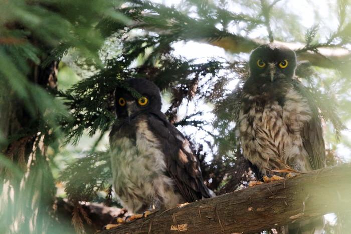 アオバズク幼鳥2羽と親1羽_f0239515_165833100.jpg