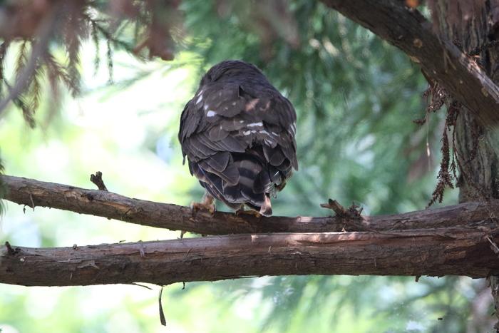 アオバズク幼鳥2羽と親1羽_f0239515_17135229.jpg