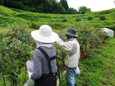 フレッシュブルーベリーが今まさに最旬!無農薬栽培の朝採りブルーベリーを即日発送でお届けします!_a0254656_17380805.jpg