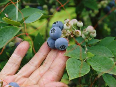 フレッシュブルーベリーが今まさに最旬!無農薬栽培の朝採りブルーベリーを即日発送でお届けします!_a0254656_17401430.jpg