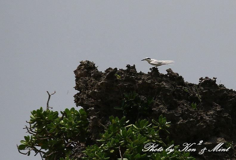 南の島3日目 伊良部島へ・・「エリグロアジサシ」さん「ダイサギ」さん~Σ^)_e0218518_21511433.jpg