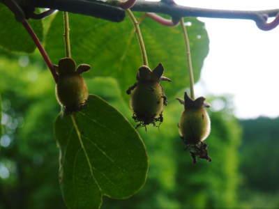 完全無農薬栽培の水源キウイ元気に成長中(2019)!11月中旬より出荷予定!キウイは冬のフルーツです!_a0254656_18220117.jpg