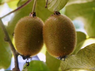完全無農薬栽培の水源キウイ元気に成長中(2019)!11月中旬より出荷予定!キウイは冬のフルーツです!_a0254656_18265429.jpg