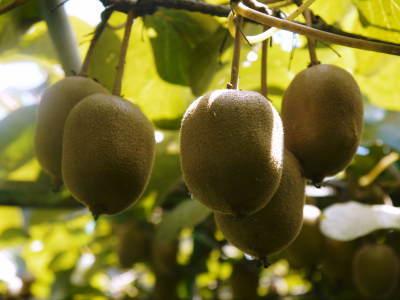 完全無農薬栽培の水源キウイ元気に成長中(2019)!11月中旬より出荷予定!キウイは冬のフルーツです!_a0254656_18302538.jpg