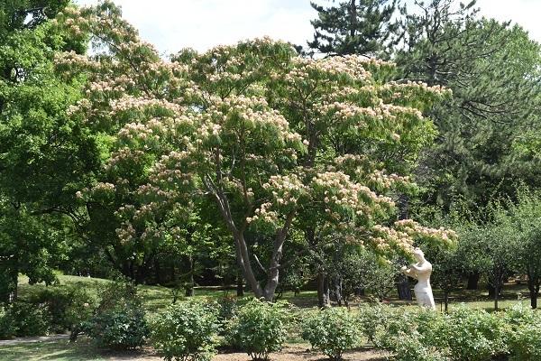 札幌中島公園の「ねむの木」が満開です。_f0362073_08092410.jpg