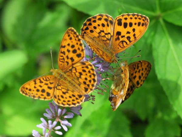 上高地の蝶々 コヒョウモンチョウ_e0271890_22021881.jpg