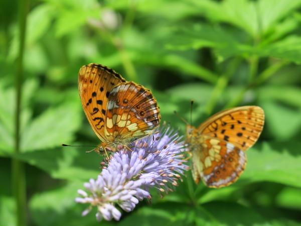 上高地の蝶々 コヒョウモンチョウ_e0271890_22031686.jpg