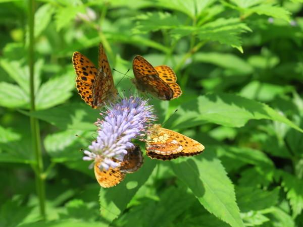 上高地の蝶々 コヒョウモンチョウ_e0271890_22065294.jpg