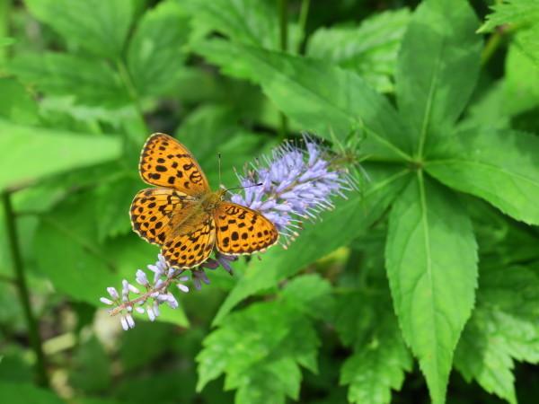 上高地の蝶々 コヒョウモンチョウ_e0271890_22215766.jpg