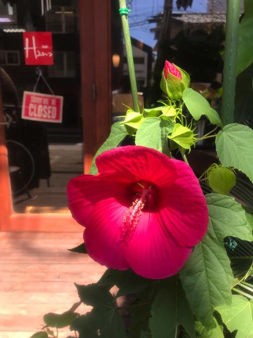 タイタンビカスが毎年咲く美容室_a0037910_11074543.jpg