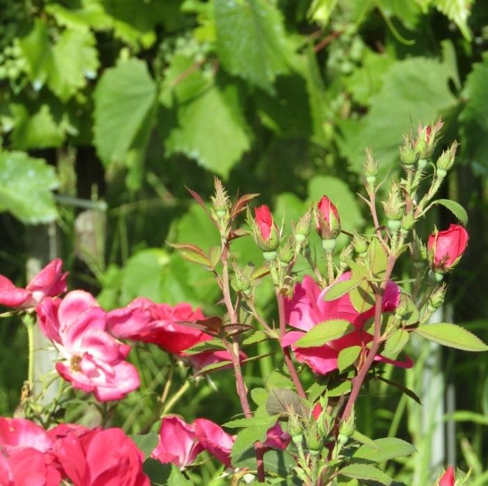 八月六日 炎天の赤い薔薇_b0287748_19584712.jpg