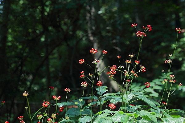赤城自然園の夏の花_d0334291_16231402.jpg