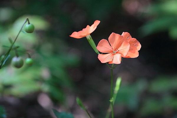 赤城自然園の夏の花_d0334291_16235393.jpg