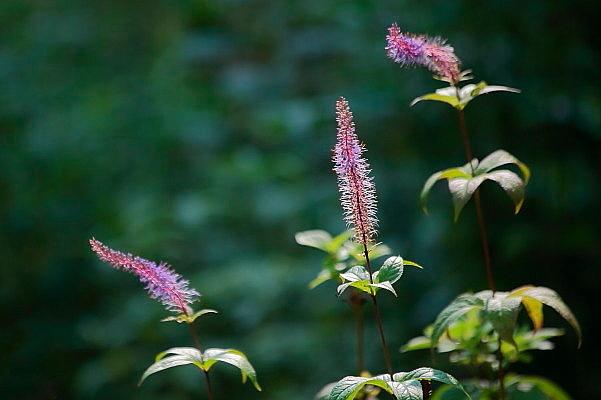 赤城自然園の夏の花_d0334291_16244277.jpg