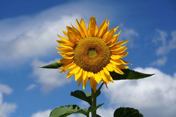 夏の花ヒマワリ_b0145296_12293959.jpg