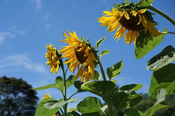 夏の花ヒマワリ_b0145296_12294334.jpg