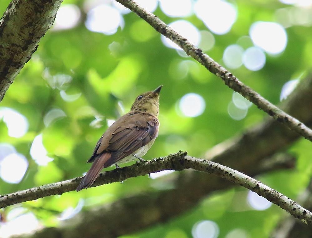 オオルリ幼鳥は今はもう、、_f0305401_10421634.jpg