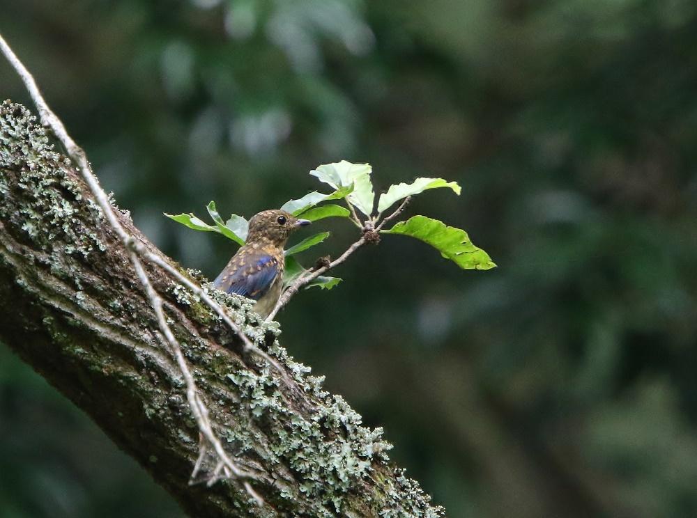 オオルリ幼鳥は今はもう、、_f0305401_10422168.jpg