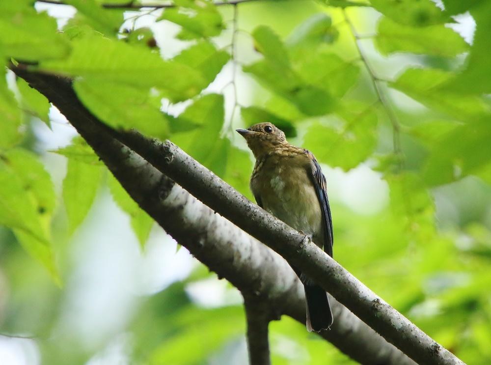 オオルリ幼鳥は今はもう、、_f0305401_10422672.jpg