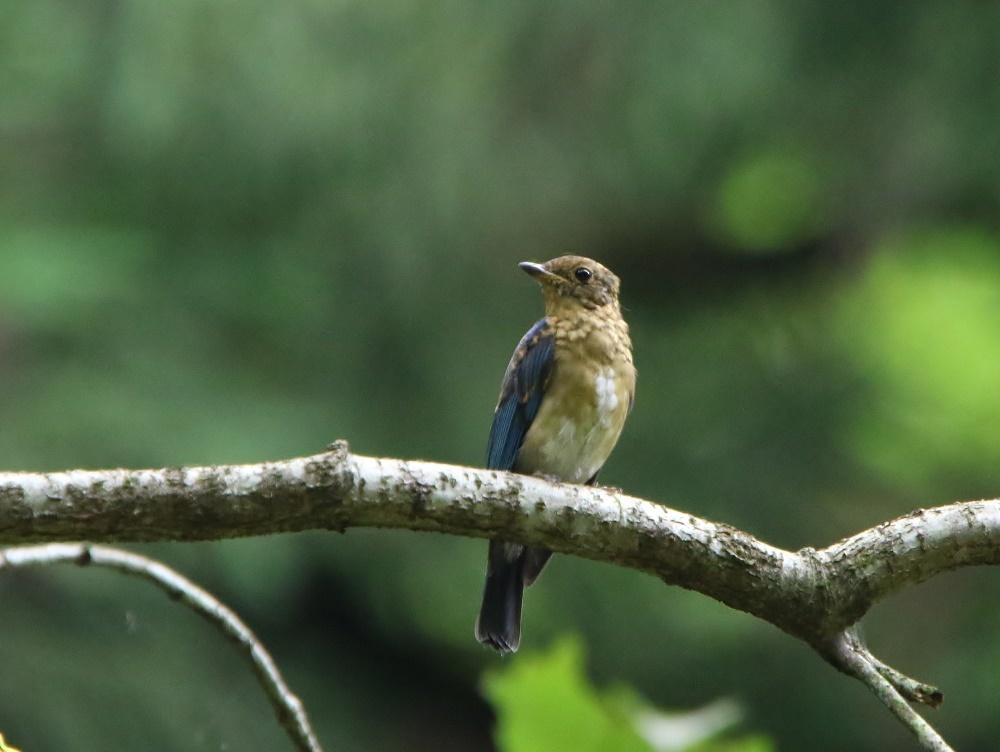 オオルリ幼鳥は今はもう、、_f0305401_10424175.jpg