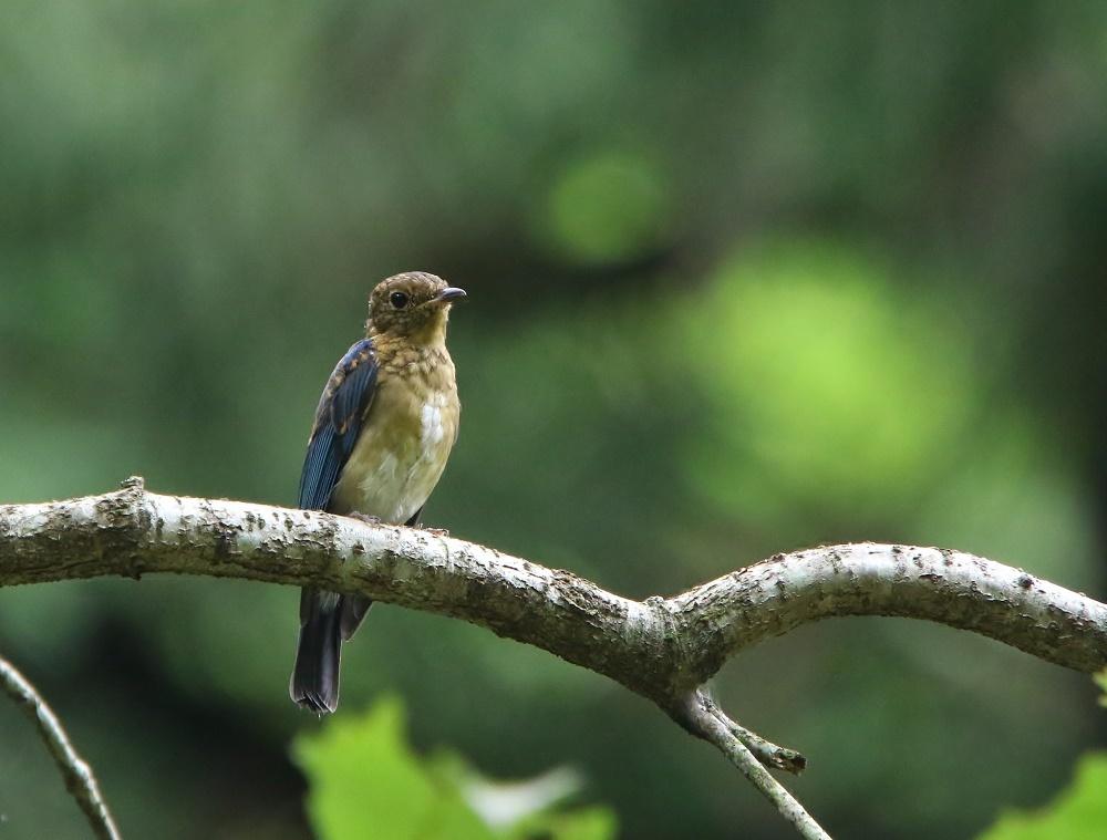 オオルリ幼鳥は今はもう、、_f0305401_10424622.jpg