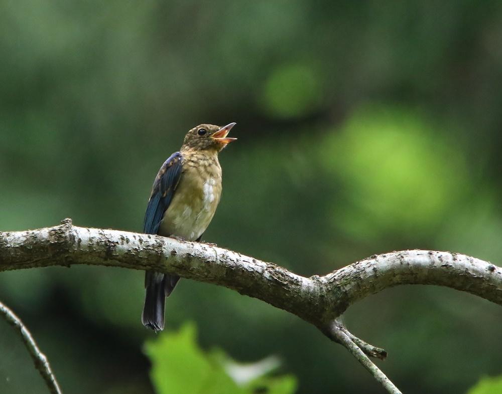 オオルリ幼鳥は今はもう、、_f0305401_10425177.jpg
