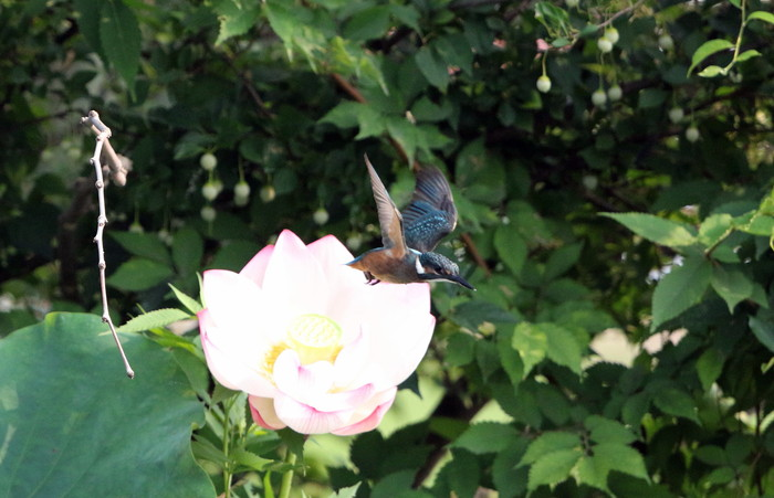 蓮池にカワセミの子供達集まる_f0239515_1505740.jpg