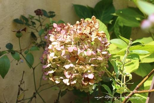 梅雨寒の紫陽花ドライは『立ち枯らし』で大成功♪_f0023333_22191635.jpg