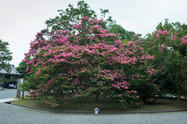 京都御所の鮮やかサルスベリ_e0369736_10120821.jpg