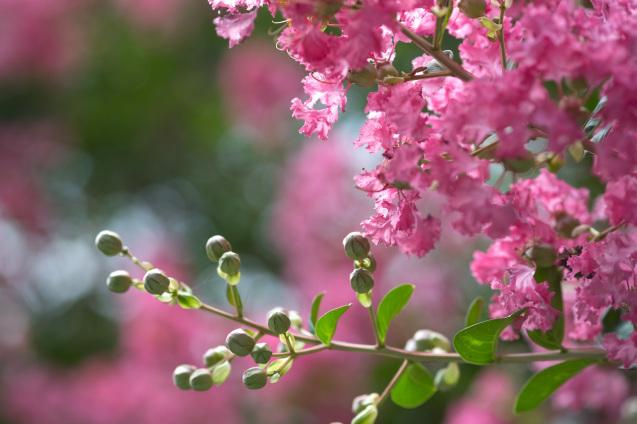 京都御所の鮮やかサルスベリ_e0369736_15405079.jpg