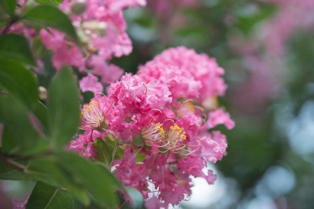 京都御所の鮮やかサルスベリ_e0369736_15405173.jpg