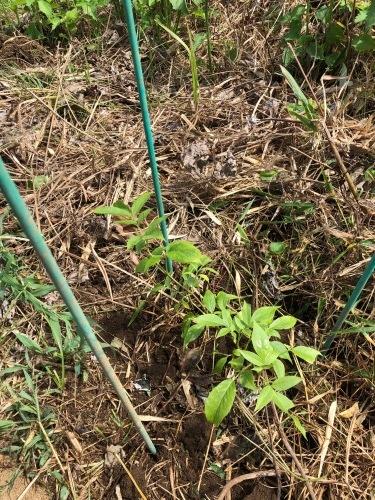 サンブーコの定植 防草シートの補強 夏野菜収穫  一息ついてお店にと思ったら_c0222448_16044557.jpg