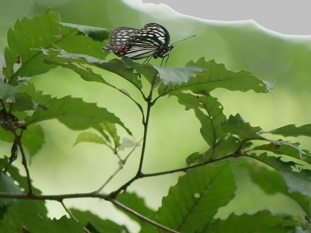 在来種ゴマダラチョウと外来種アカボシゴマダラ_d0088184_22250514.jpg