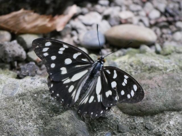 在来種ゴマダラチョウと外来種アカボシゴマダラ_d0088184_22255683.jpg