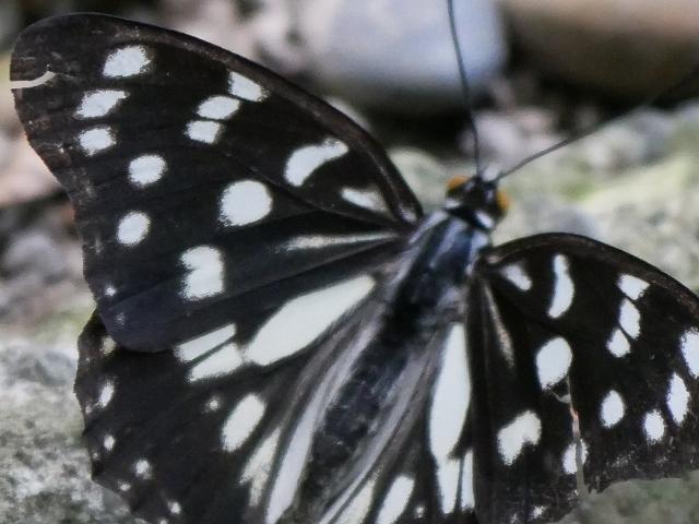 在来種ゴマダラチョウと外来種アカボシゴマダラ_d0088184_22261960.jpg