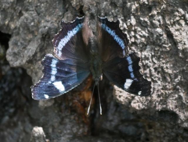 在来種ゴマダラチョウと外来種アカボシゴマダラ_d0088184_22284717.jpg