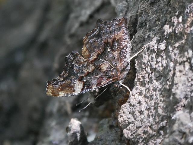 在来種ゴマダラチョウと外来種アカボシゴマダラ_d0088184_22290049.jpg