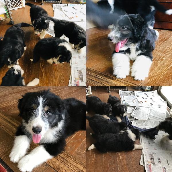 子犬情報_f0211789_18120441.jpg