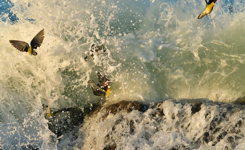 大磯:アオバトの波かぶり ②_e0362696_15205616.jpg
