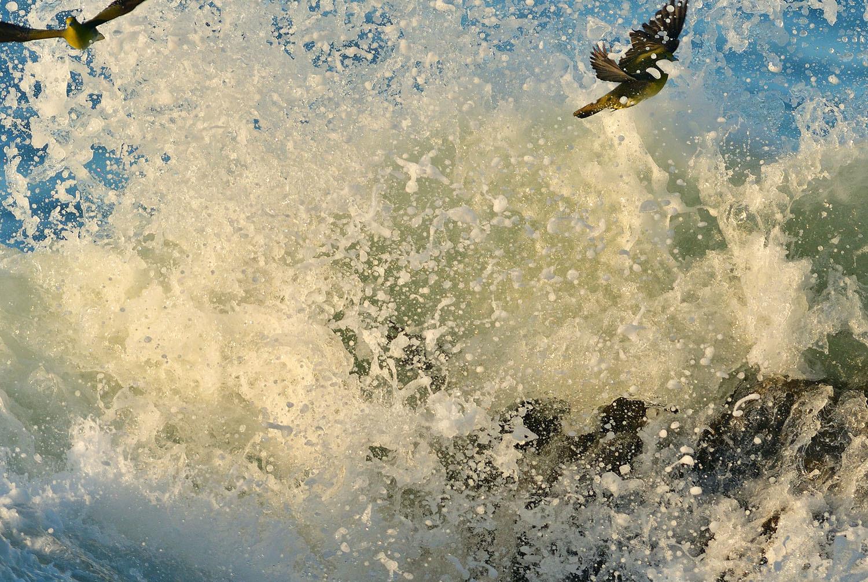 大磯:アオバトの波かぶり ②_e0362696_15210703.jpg