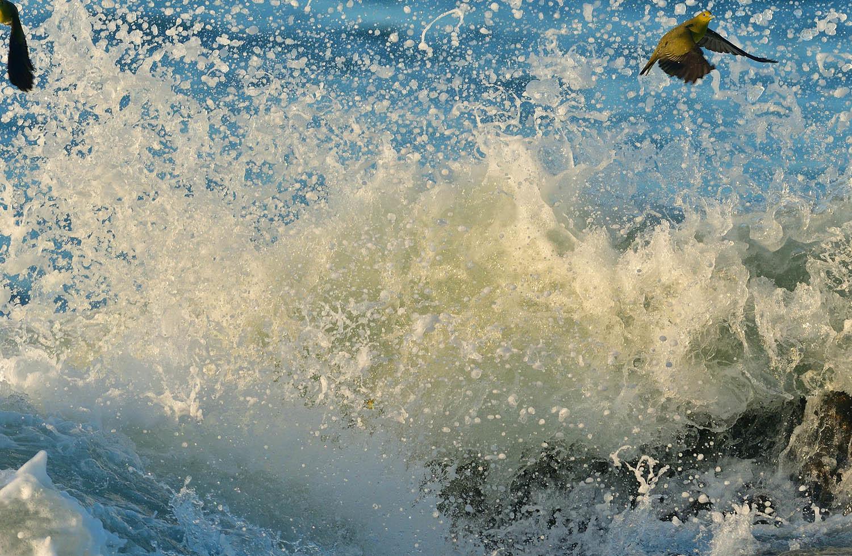 大磯:アオバトの波かぶり ②_e0362696_15211187.jpg