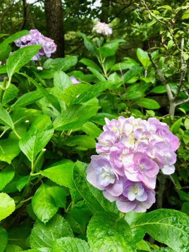 【ウェディング】紫陽花のなかの古民家ウェディング_f0201310_11145687.jpg